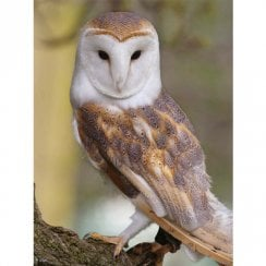 Lenticular 3D Picture Barn Owl