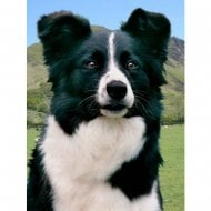Lenticular 3D Picture Border Collie 2