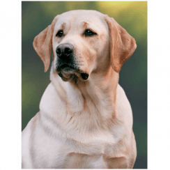 Lenticular 3D Picture Labrador Yellow