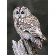Lenticular 3D Picture Tawny Owl